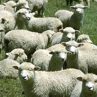 Proud to be a sheep