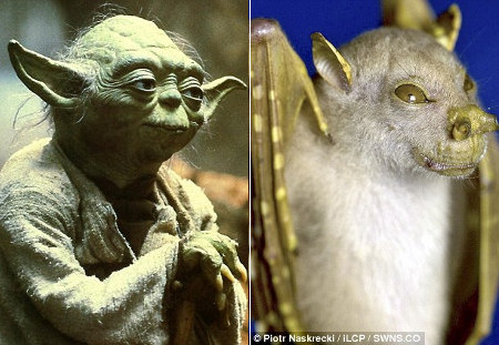 yoda-chauvesouris