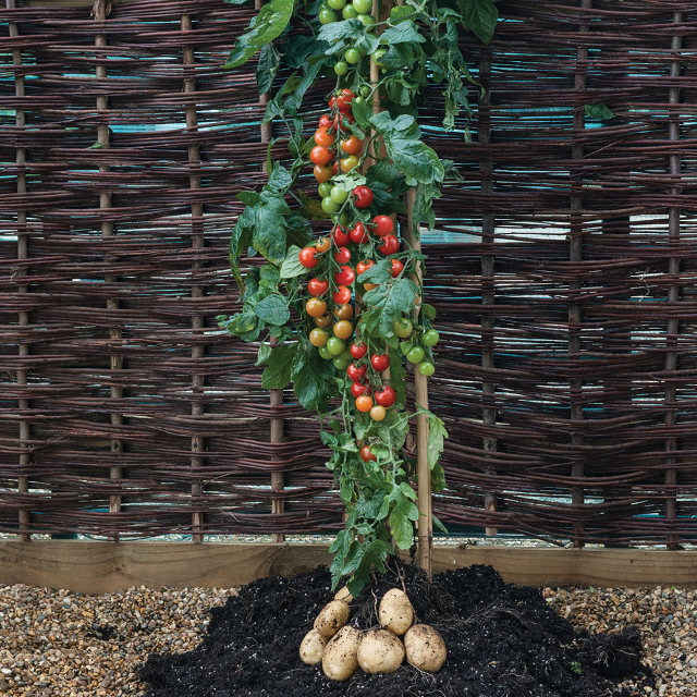 plant-tomate-patate