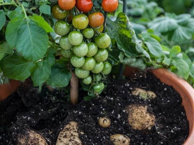 plante-tomate-patate