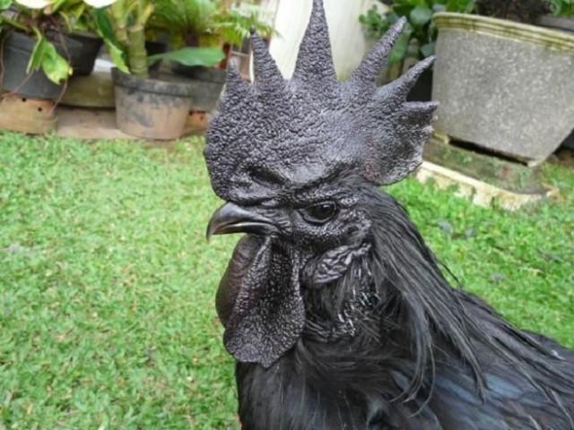 poulet-noir-1