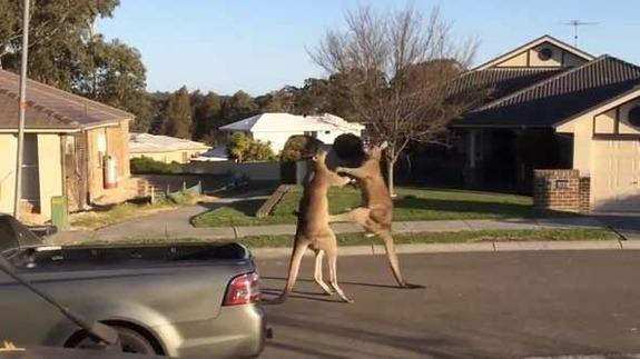 boxe-kangourou