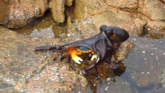 pieuvre-attaque-crabe
